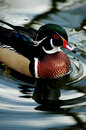 Mandarin duck beautiful male on clear water Stock Photography