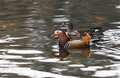 Mandarin duck close up shot Stock Photos