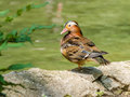 Mandarin duck closeup on a pond Stock Photo
