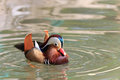 Mandarin Duck Drake Royalty Free Stock Photo