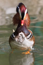 Mandarin Duck Drake (Aix Galericulata) Royalty Free Stock Photo
