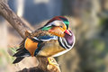 Mandarin duck. Drake Royalty Free Stock Photo