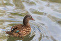 Mandarin duck (female) (aix galericulata) Royalty Free Stock Photo