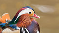 Mandarin duck male aix galericulata at the jurong bird park in singapore Stock Photo