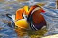Mandarin duck male Royalty Free Stock Photo