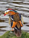 Mandarin duck in the park Royalty Free Stock Photo