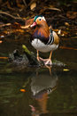 Mandarin duck with reflection in water Royalty Free Stock Photography