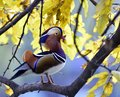 Mandarin duck rest in the branches of Royalty Free Stock Photos