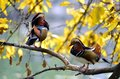 Mandarin duck rest in the branches of Stock Photo