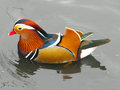 Mandarin duck a swimming on a canal in the uk Stock Images