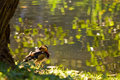 Mandarin duck by the water Stock Photography