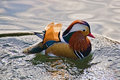 Mandarin duck waterfowl bird somerset uk peek december pond lake reflections swimming yeovil Stock Photography