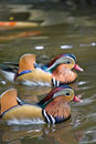 Mandarin ducks Stock Images