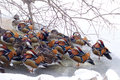 Mandarin ducks a group of in the witner lakeshore scientific name aix galericulata Royalty Free Stock Image