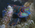 Mandarin fish in coral reef synchiropus splendidus at dusk rubble lembeh straits indonesia Stock Photo