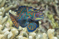 Mandarin fish on corals background Stock Photo