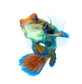 Mandarin fish isolated on white background Royalty Free Stock Images