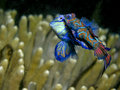 Mandarin Fish Mating Stock Photography