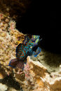 Mandarin fish portrait close up underwater Royalty Free Stock Image