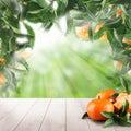 Mandarin fruits and mandarin tree leaves Royalty Free Stock Photo