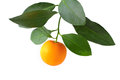 Mandarin growing on white a branch with leaves close up isolated background Royalty Free Stock Image