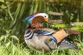 Mandarin male duck Royalty Free Stock Photo