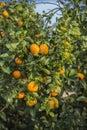 Mandarin In Nature
