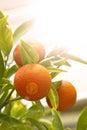 Mandarin orange with green leaves Royalty Free Stock Photo