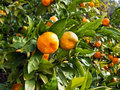 Mandarin orange tree Stock Images