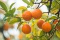 Mandarin tree Royalty Free Stock Photo