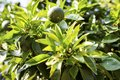 Mandarin tree with green fruits. Mandarins grow on tree branch. Green leaves of mandarin tree in tropical citrus garden Royalty Free Stock Photo