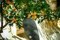 Mandarin tree grows near stone wall with arch. Royalty Free Stock Photo