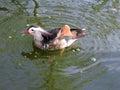 Mandarina duck with greens in its beak Royalty Free Stock Photo