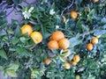 Mandarine Arkivbilder