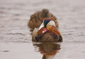 A mandarine duck in love mandarin aix galericulata with an mallard female at the neris river lithuania Royalty Free Stock Photography