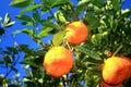 Mandarine tree Royalty Free Stock Photo
