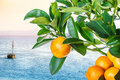 Mandarine tree sea sky Royalty Free Stock Photo