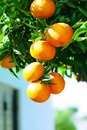 Mandarines sur le branchement Photo libre de droits