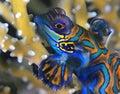 Mandarinfish I Royalty Free Stock Photo