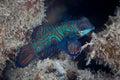 Mandarinfish Underwater Royalty Free Stock Photo