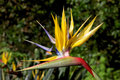 Mandelas gold is a rare yellow form of the well known crane flower strelitzia reginae it can be seen growing at kirstenbosch Royalty Free Stock Photo