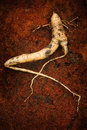 Mandrake root with a face the mandragora officinarum curious anthropomorphic aspect is the basis of spiritual and magical rituals Stock Images