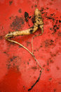Mandrake root the mandragora aofficinarum a curious anthropomorphic aspect is the basis of spiritual and magical rituals of many Stock Photo