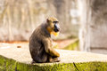 Mandril monkey in the Artis Zoo Royalty Free Stock Photo