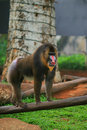 Mandrill baboon Royalty Free Stock Image