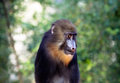 Mandrill close up a in the barcelonazoo Stock Photos