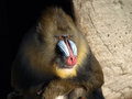Mandrill a male looking ahead Stock Images