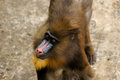 Mandrill (Mandrillus Sphinx) Royalty Free Stock Photo
