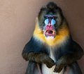 Mandrill picture of a colourful displeased Stock Photos