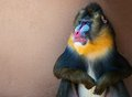 Mandrill picture of a colourful displeased Stock Photography
